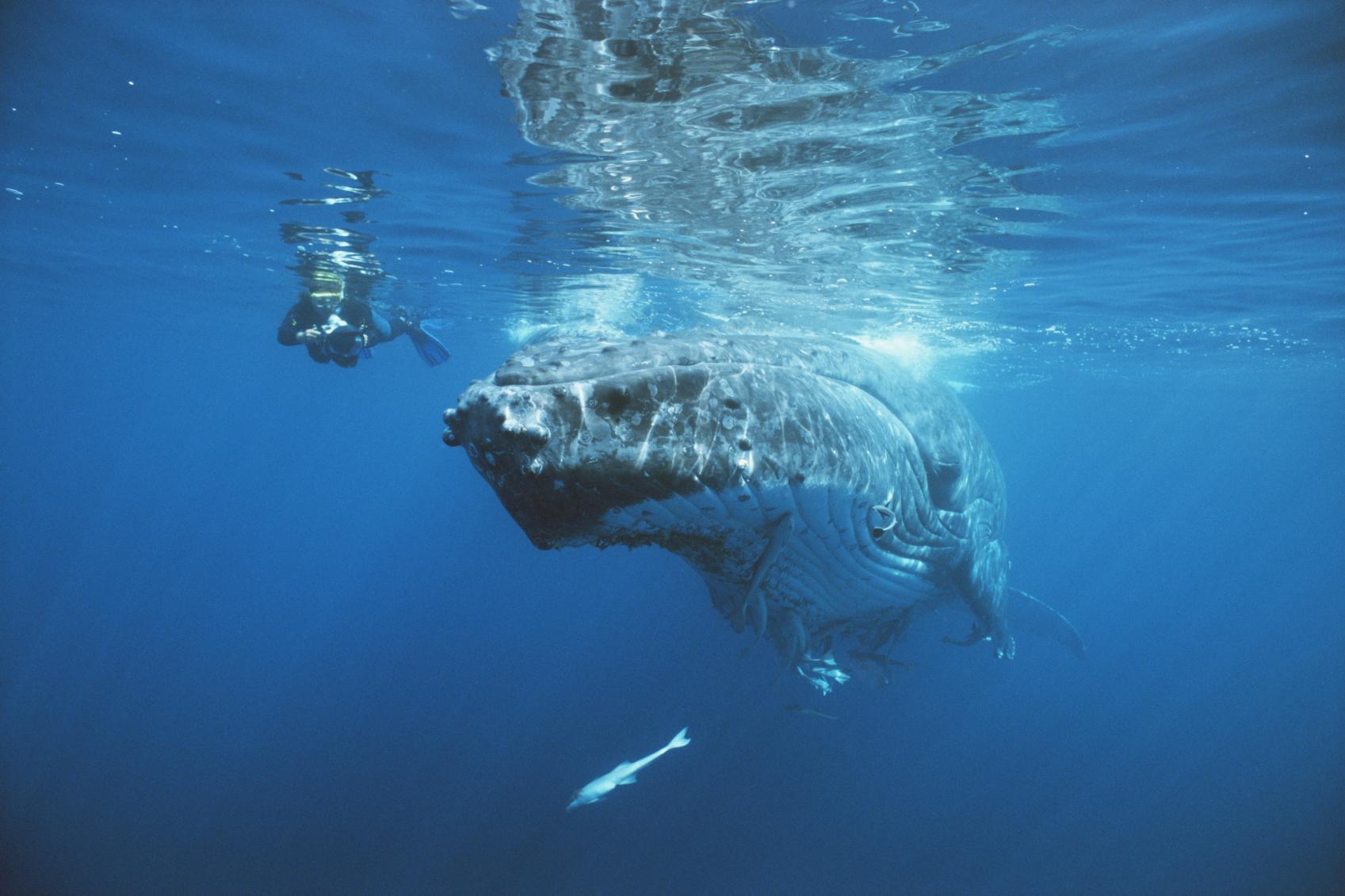 Tonga-Whales.jpg