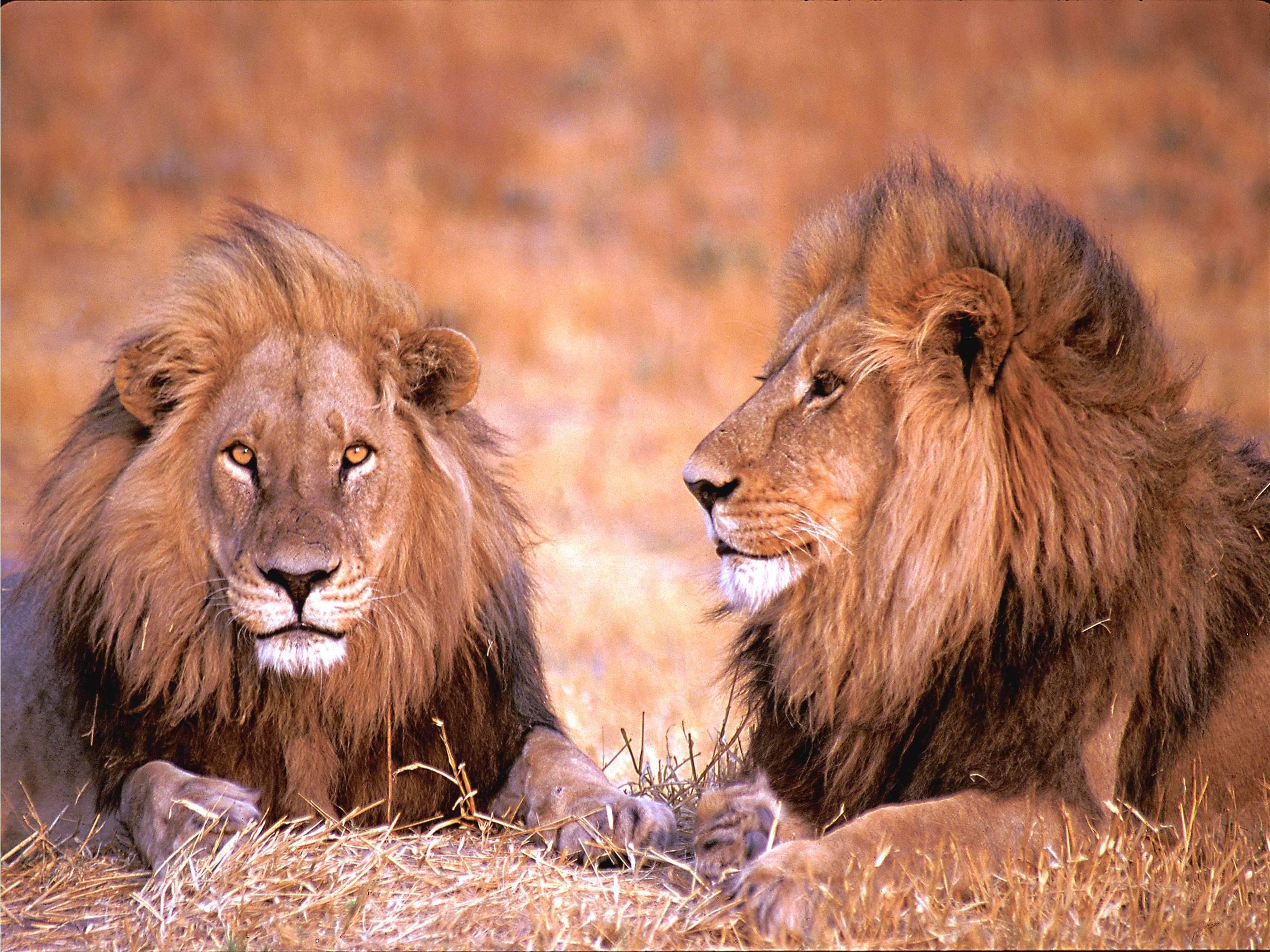 Male-lions.jpg