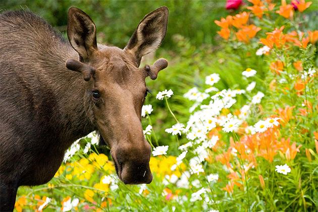 Moose-Banff-National-Park-Wayde-Carroll.jpg