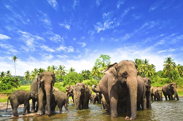 Elephants,-Sri-Lanka
