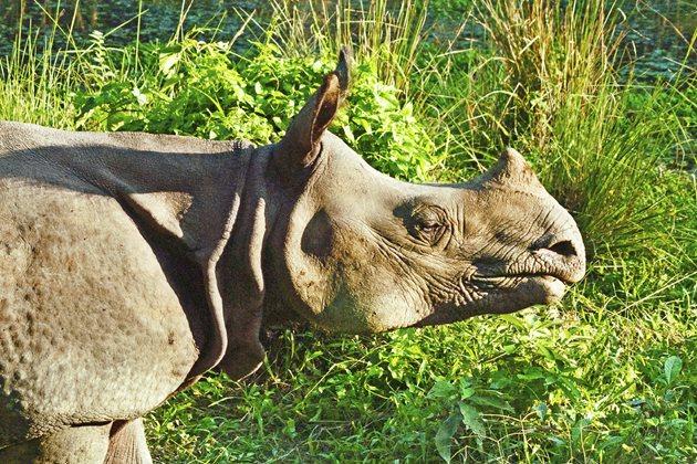 Rhino,-Chitwan