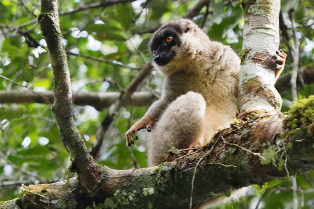 Madagascar-Lemur-in-Tree.jpg