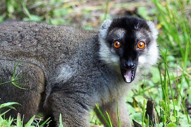 Madagascar-Lemur-looking-at-Camera.jpg